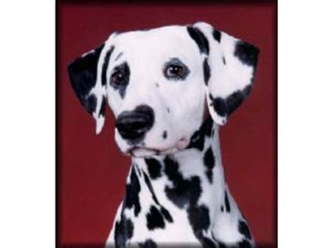 dalmatian puppies nc dalmatian puppies for sale