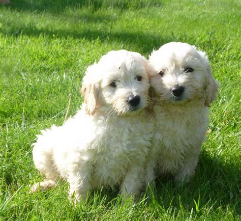 mini goldendoodle breeders uk adorable miniature goldendoodle puppies oswestry