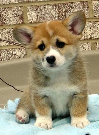pembroke corgi puppies pembroke corgis info facts temperament puppies pictures