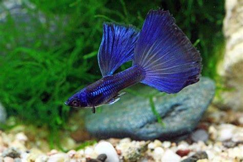 Guppy Blue Moscow Promo 932 besten aquarium fish livebearers bilder auf