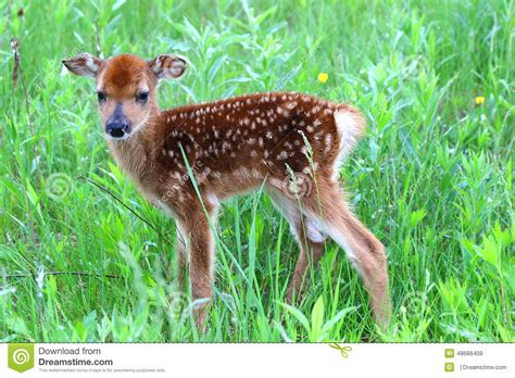 fawn images whitetail fawn stock image image of whitetail
