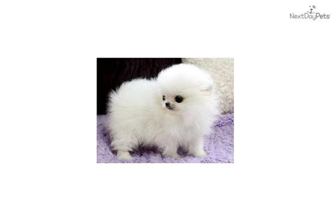 pomeranian puppies for sale in seattle micro pomeranian puppies for sale pomeranian seattle breeds picture