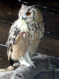 eagle owl feeding on chick at small 169 christine