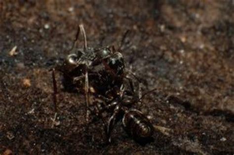 comment se d饕arrasser des fourmis dans une cuisine comment se d 233 barrasser des petites fourmis de cuisine