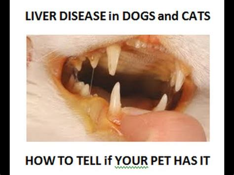 signs of liver failure in dogs liver disease how to tell if your or cat has it