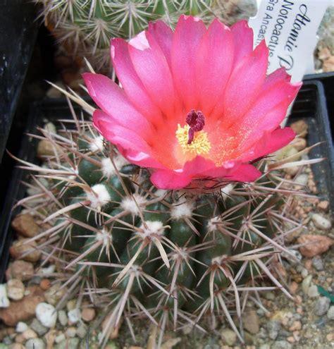 rote käfer im haus notocactus kakteen kaktus samen kaufen pflanzen