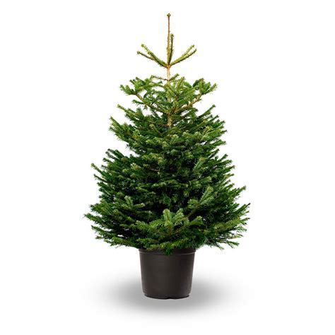 pot grown nordmann fir abies nordmanniana jadecliff