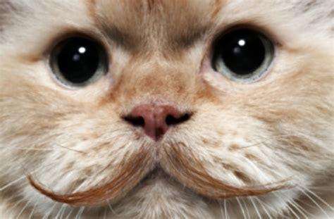 CAT MUSTACHE MONTAGE   The Catnip Times