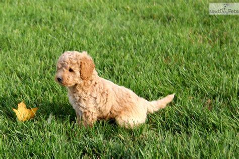poodle mix puppies near me poodle miniature puppy for sale near lancaster pennsylvania 36198f7b c421