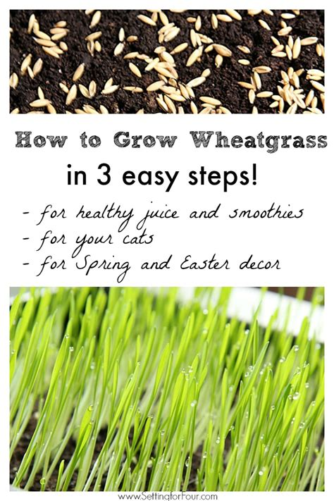 easy grow wheatgrass how to grow wheatgrass indoor gardening and decor idea