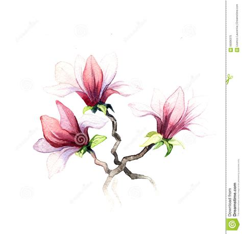 the magnolia flowers watercolor isolated stock