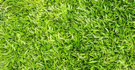 Low Maintenance all you need to know about centipede grass