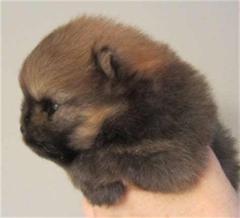 pomeranian puppies for sale in ri pomeranian puppies adults for sale