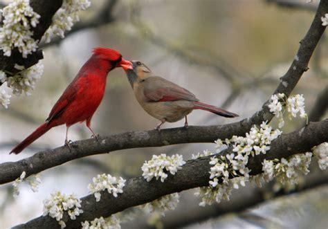 love is in the air courtship behavior in backyard birds