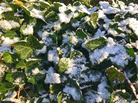 Ist Efeu Winterhart efeu 187 wie winterhart ist er wirklich