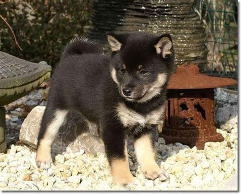 black shiba inu puppies black shiba inu puppy squee worthy