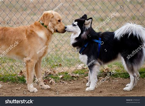 do golden retrievers get along with other dogs siberian husky and golden retriever dogs sniffing at each other stock photo 57595447