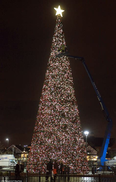 britain s largest tree goes up in cheshire daily mail