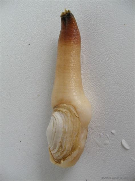 geoduck images 22 best images about geoduck clam yes it s real on