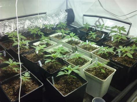 le pour culture de cannabis erreurs fr 233 quentes dans la culture du cannabis du growshop alchimia