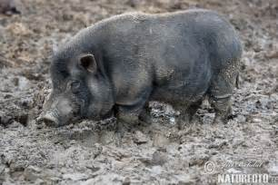 pot bellied pig pictures pot bellied pig images naturephoto