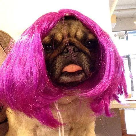 purple pug momo the pug trying on purple wig pugs pug told you and purple wig