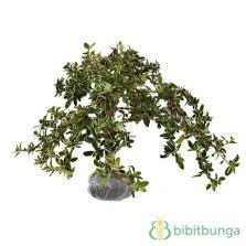 Tanaman Hias Calathea Saputangan tanaman jenggot musa moss bibitbunga