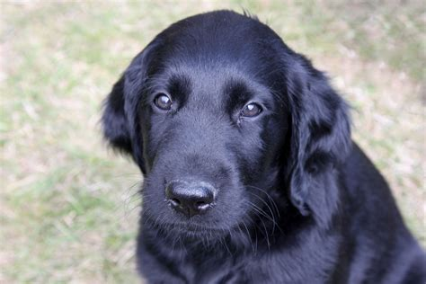 libro complete flat coated retriever the shelterwood z 252 chter von flat coated retriever welpen