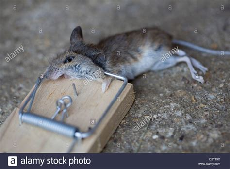 mouse in house a common house mouse mus musculus lying dead in a traditional stock photo royalty