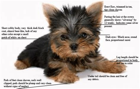 pictures of 6 week yorkie puppies photo gallery the terrier