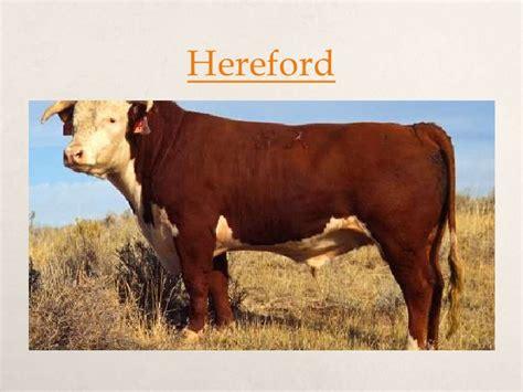 australian cattle breeders australian beef cattle breeds