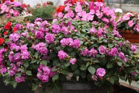 impatiens nuova guinea vaso impatiens nuova guinea piante annuali impatiens nuova