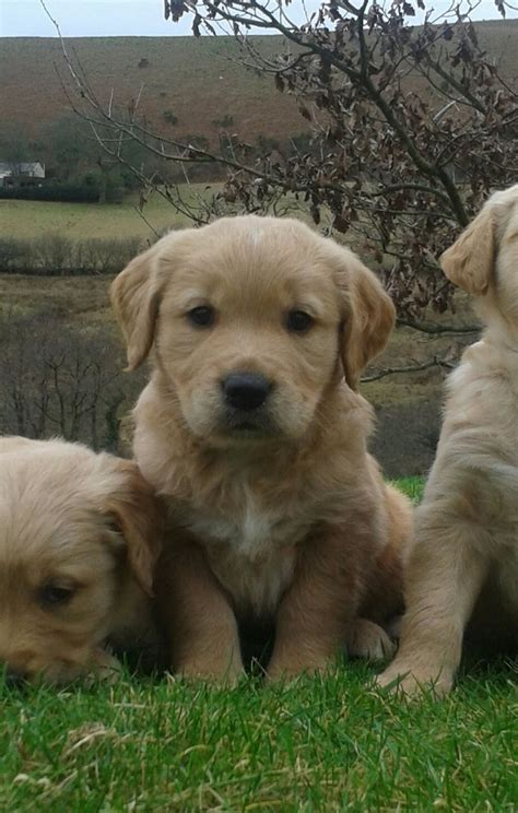 golden retriever puppies for sale swansea 1 gorgeous golden retriever pup for sale swansea swansea pets4homes