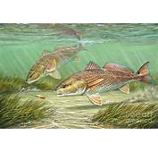 The Gallery For  &gt Redfish Tail Drawing