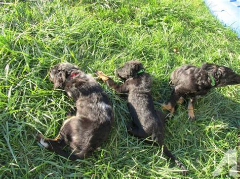 puppies for sale in roseburg oregon medium sized dogs mini australian shepherd mix puppies for sale in roseburg oregon