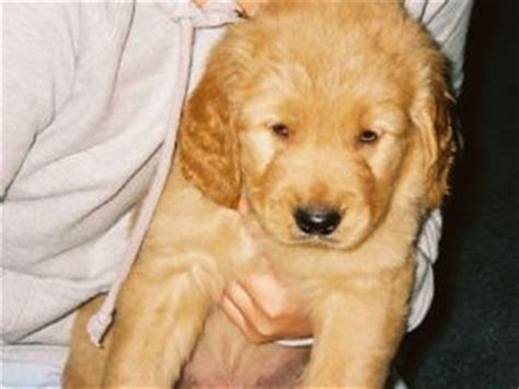 golden retriever ga golden retriever breeders in macon ga