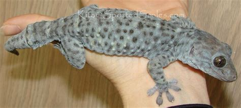 do geckos change color color change in a tokay