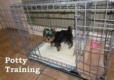 how to potty a teacup yorkie top 25 best yorkie puppies ideas on puppies teacup yorkie and