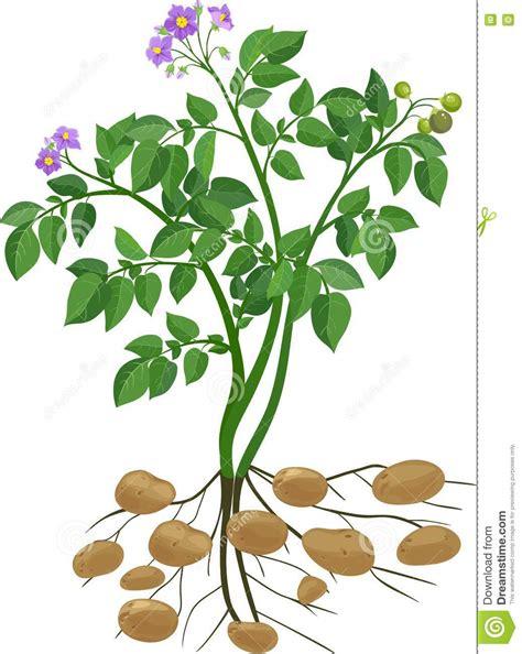 Beschriftung Kartoffelpflanze by Aardappelplant Vector Illustratie Illustratie Bestaande