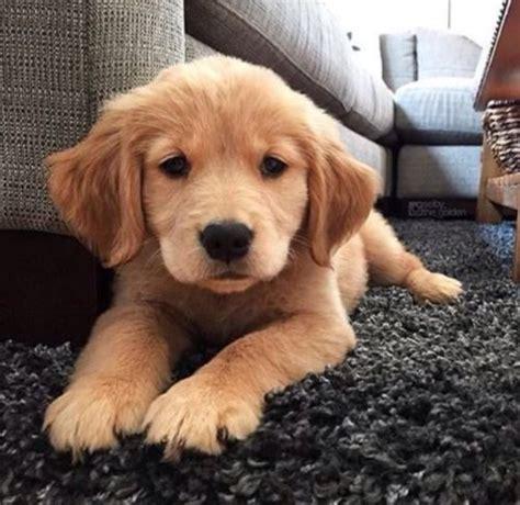 sell puppies best 25 golden retriever puppies ideas on