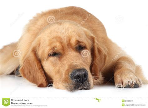 golden retriever sleeping golden retriever sleep on the floor royalty free stock images image 24720519
