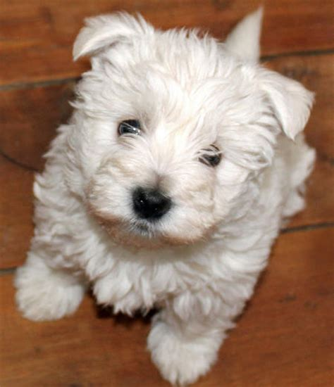 west highland terrier puppy the west highland terrier puppies daily puppy