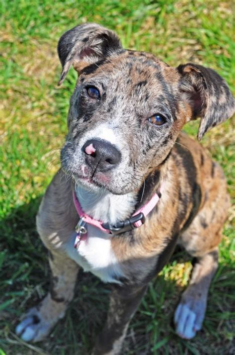 catahoula mix puppies 17 best images about catahoula mixed breeds on cutest dogs about me and