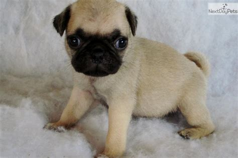 tiny pug puppies pug puppy for sale near southwest va virginia f786c7d0 1331