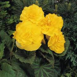 Container Gardening Book - nonstop 174 yellow tuberous begonia begonia x tuberhybrida proven winners