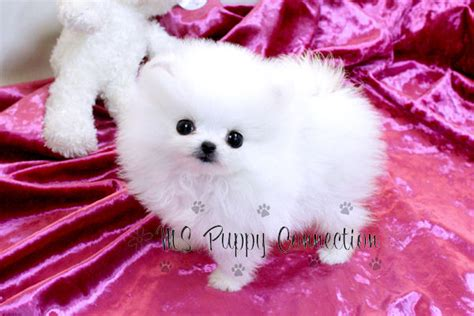 micro teacup pomeranian puppies for sale in mississippi ms puppy connection directory ac