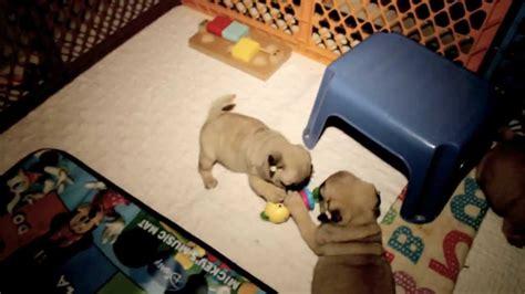 5 week pug puppies 8 week pug puppies pug