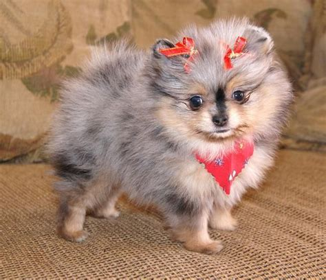 wolf pomeranian wolf pomeranian cuties