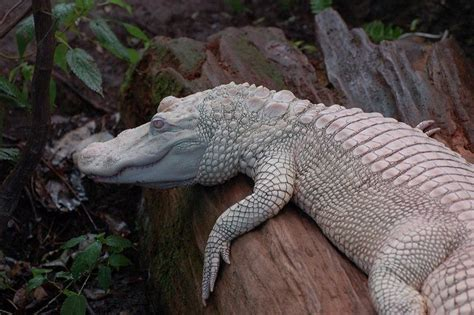 extraordinary albino  pure white animals animals zone