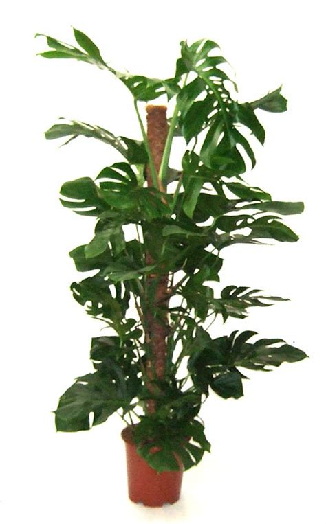 indoor vine plants indoor plants 171 desertfragrance com